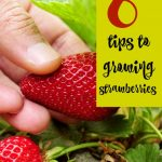 6 Tips to Help You Grow Strawberries!