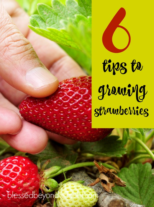 6 simple tips on how to grow strawberries this year.