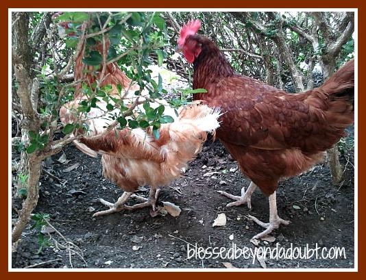 Raising Chickens -Top 10 Reasons